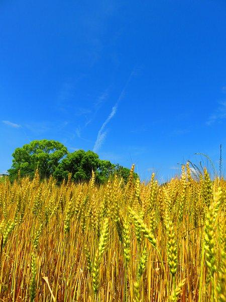 2018年5月30日 黄金色に輝く麦畑 (*^-^)ニコ  _b0341140_16165175.jpg