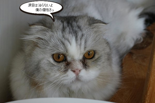 里親様募集開始してます、保護猫スコちゃん_e0151545_20493785.jpg