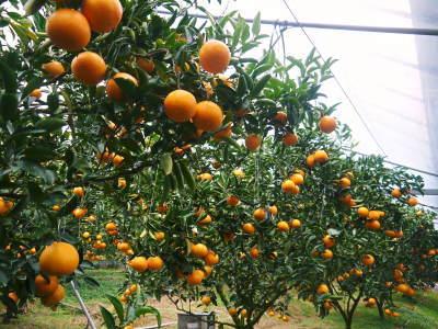 究極の柑橘「せとか」 今年も元気な花が咲きました!まもなく着果です!!_a0254656_17402177.jpg