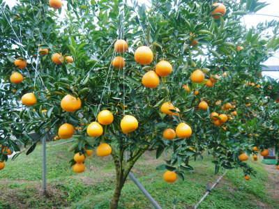 究極の柑橘「せとか」 今年も元気な花が咲きました!まもなく着果です!!_a0254656_17430271.jpg