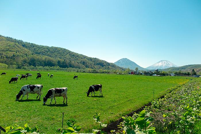 羊蹄山と尻別岳と牛たち_e0076761_22261110.jpg