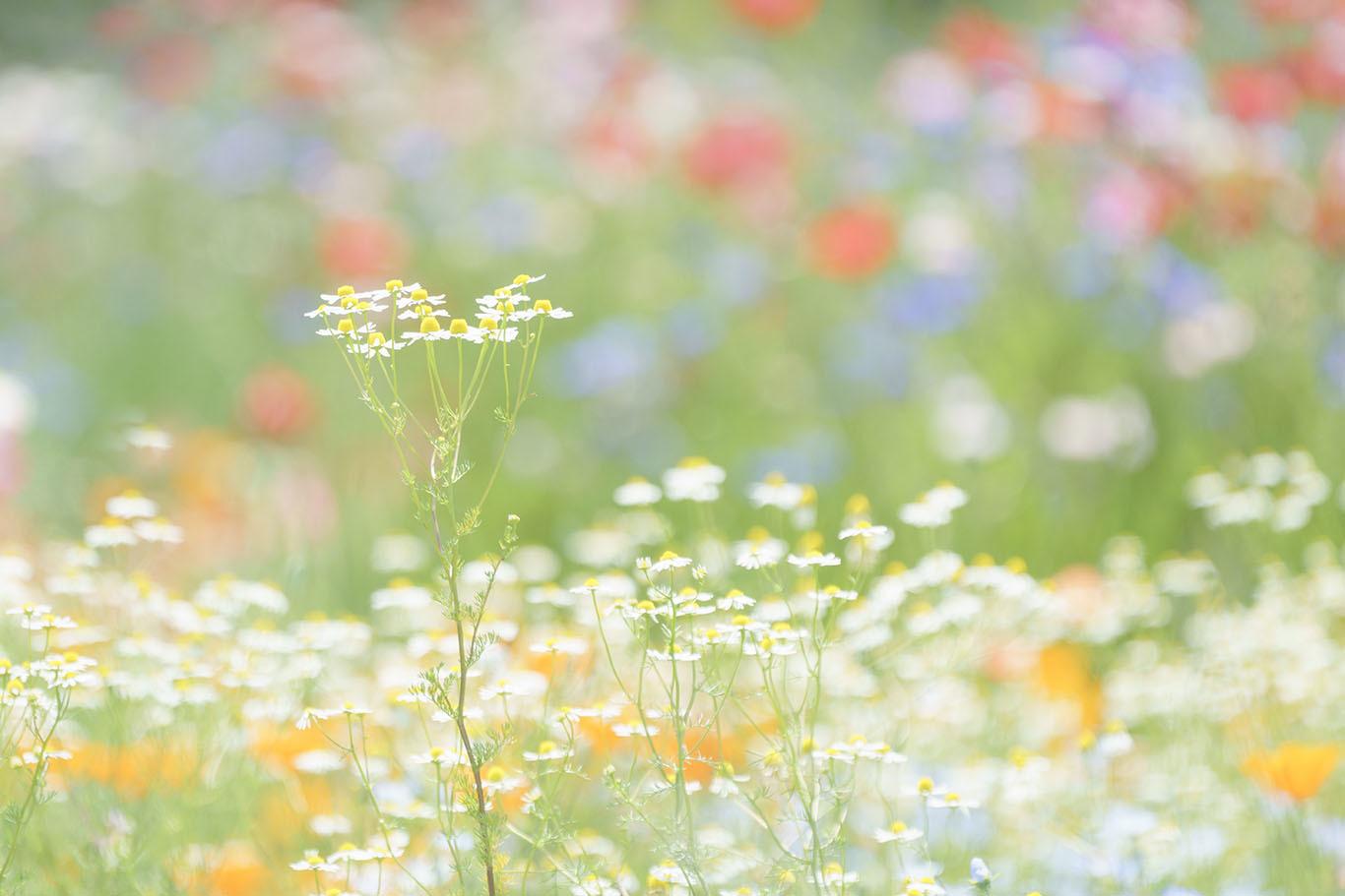 スイスのお花畑のようだった昭和...