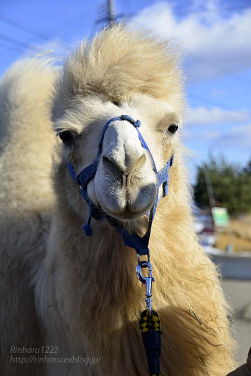 2018.1.7 東北サファリパーク☆ラクダのカリンちゃん【Camel】_f0250322_22264752.jpg