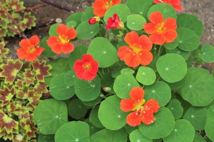 5月の庭で咲く花 (3)_d0150720_20261187.jpg