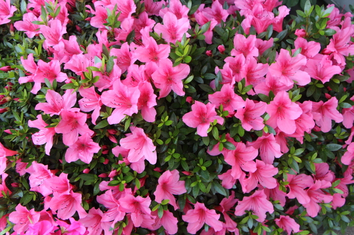 5月の庭で咲く花 (3)_d0150720_20263533.jpg