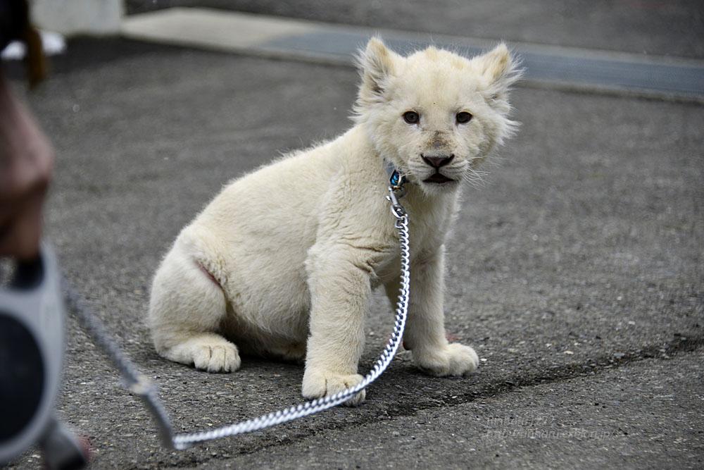 2018.2.18 東北サファリパーク☆ホワイトライオンのひふみたん岩手出張<その4>【White lion baby】_f0250322_22222597.jpg