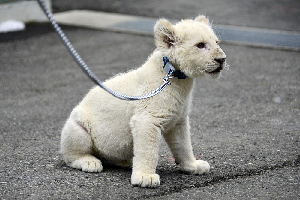 2018.2.18 東北サファリパーク☆ホワイトライオンのひふみたん岩手出張<その4>【White lion baby】_f0250322_22223099.jpg