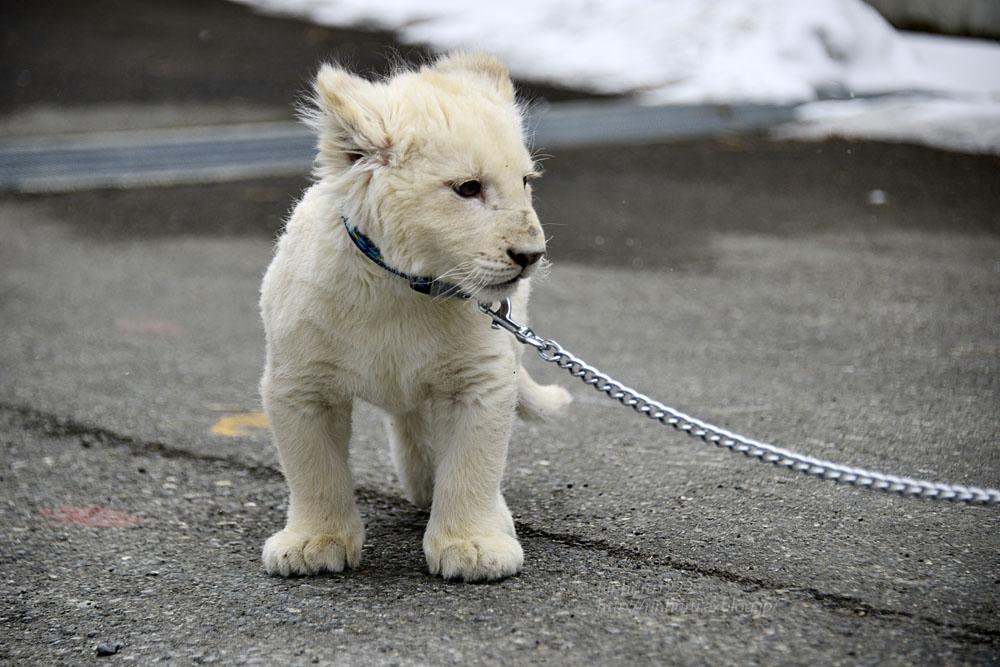 2018.2.18 東北サファリパーク☆ホワイトライオンのひふみたん岩手出張<その4>【White lion baby】_f0250322_22223546.jpg