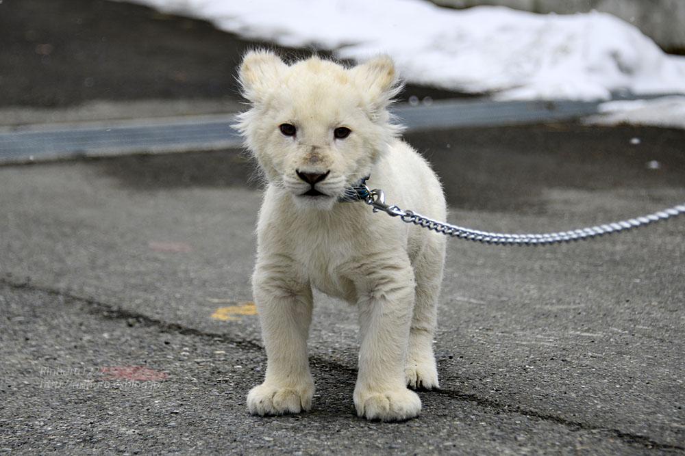 2018.2.18 東北サファリパーク☆ホワイトライオンのひふみたん岩手出張<その4>【White lion baby】_f0250322_22223989.jpg