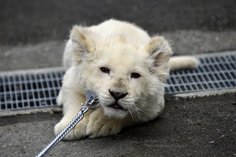 2018.2.18 東北サファリパーク☆ホワイトライオンのひふみたん岩手出張<その4>【White lion baby】_f0250322_22224813.jpg
