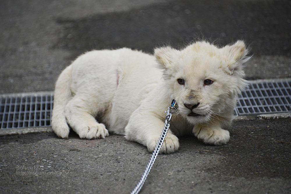 2018.2.18 東北サファリパーク☆ホワイトライオンのひふみたん岩手出張<その4>【White lion baby】_f0250322_2222552.jpg
