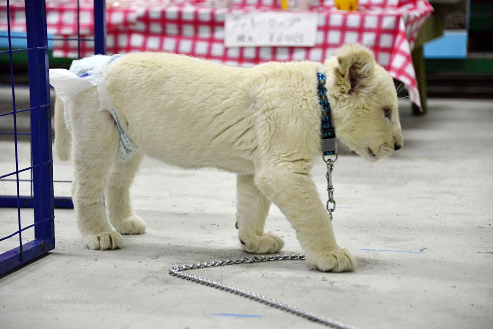 2018.2.18 東北サファリパーク☆ホワイトライオンのひふみたん岩手出張<その4>【White lion baby】_f0250322_22232374.jpg