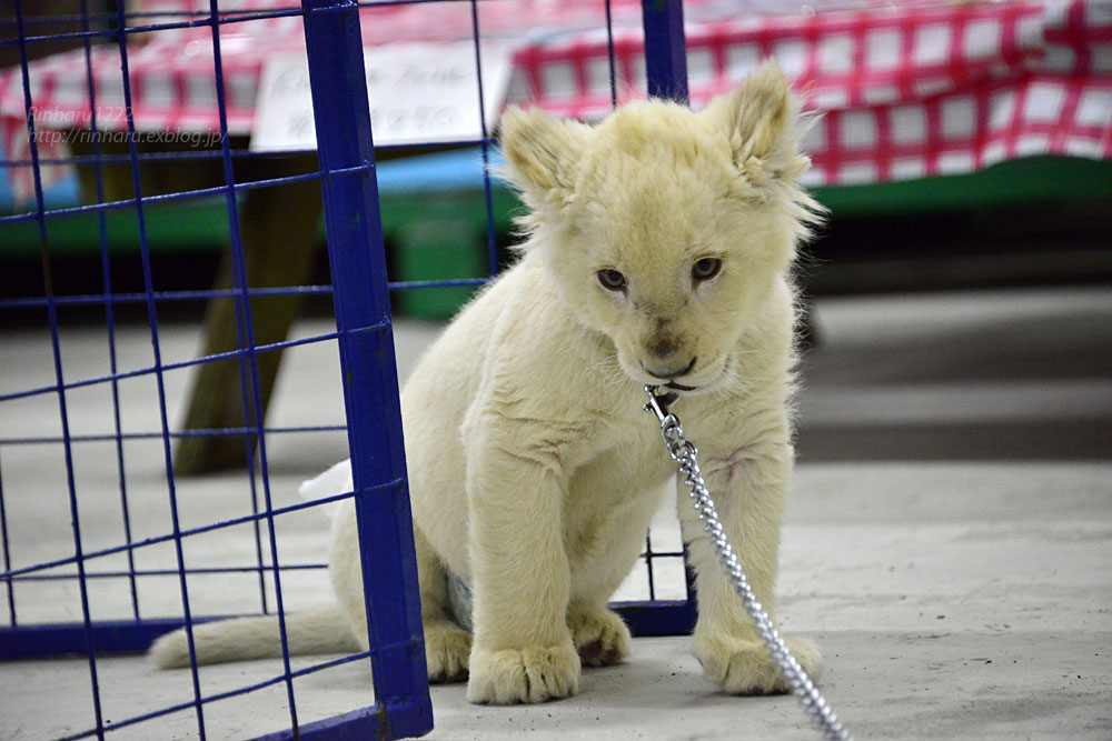 2018.2.18 東北サファリパーク☆ホワイトライオンのひふみたん岩手出張<その4>【White lion baby】_f0250322_22232783.jpg
