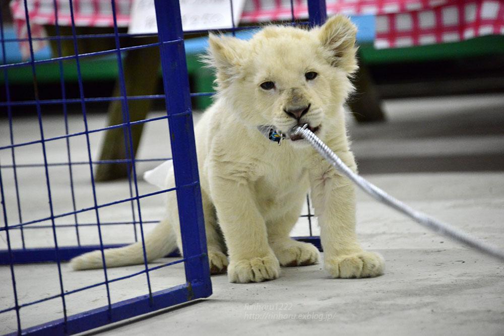 2018.2.18 東北サファリパーク☆ホワイトライオンのひふみたん岩手出張<その4>【White lion baby】_f0250322_22233248.jpg