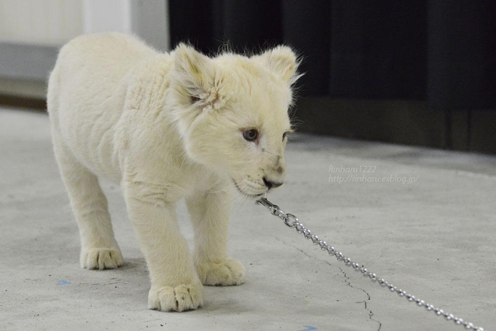 2018.2.18 東北サファリパーク☆ホワイトライオンのひふみたん岩手出張<その4>【White lion baby】_f0250322_2223491.jpg