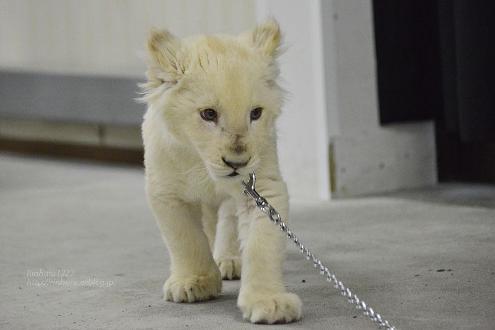 2018.2.18 東北サファリパーク☆ホワイトライオンのひふみたん岩手出張<その4>【White lion baby】_f0250322_2223931.jpg