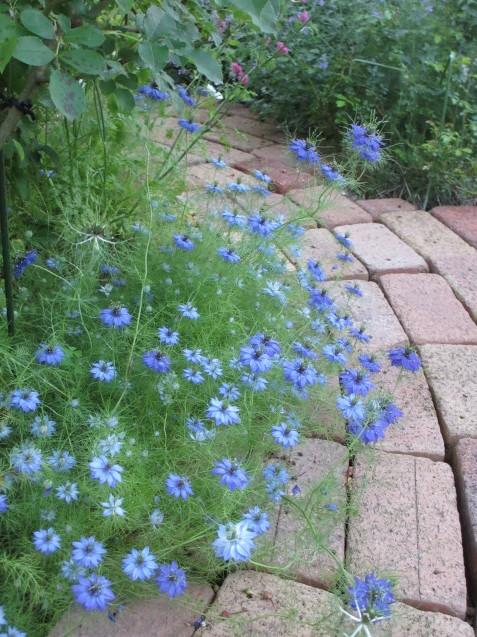ニゲラが涼し気に咲いています~_a0243064_07192657.jpg