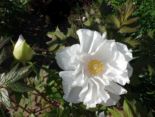 雪柳、花桃、ヒュウガミズキ、花後の強剪定とガーデンシュレッダー_a0136293_17573940.jpg