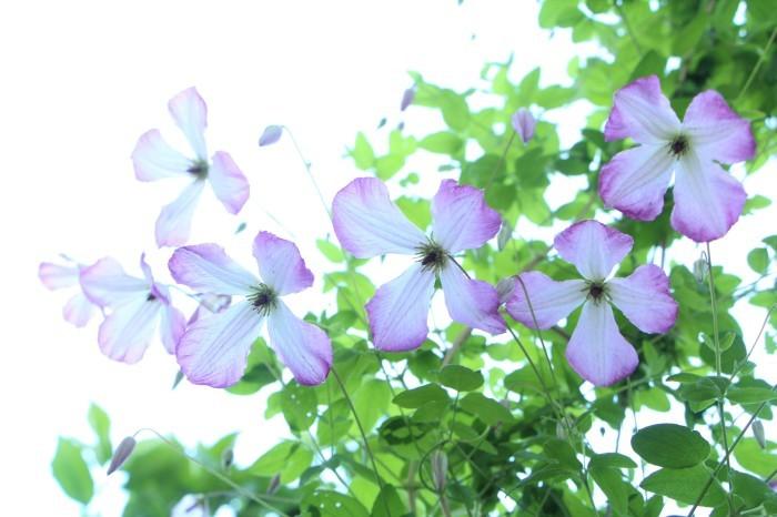 5月の庭で咲く花 (3)_d0150720_11313190.jpg