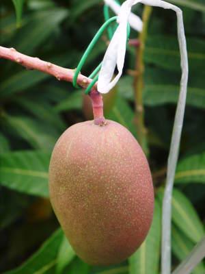 完熟アップルマンゴー 着果の様子と果実の枝吊り_a0254656_16385543.jpg