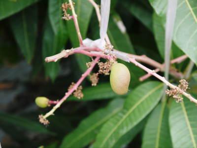 完熟アップルマンゴー 着果の様子と果実の枝吊り_a0254656_16550461.jpg