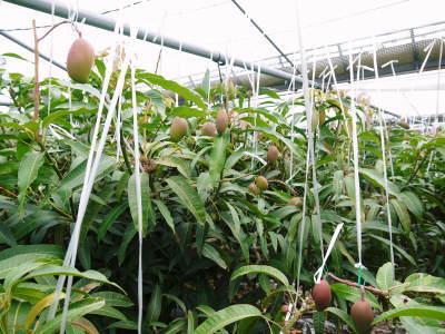 完熟アップルマンゴー 着果の様子と果実の枝吊り_a0254656_17042645.jpg