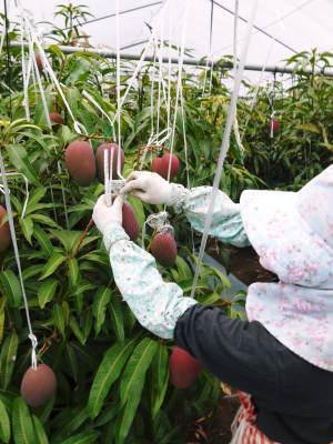 完熟アップルマンゴー 着果の様子と果実の枝吊り_a0254656_17065719.jpg