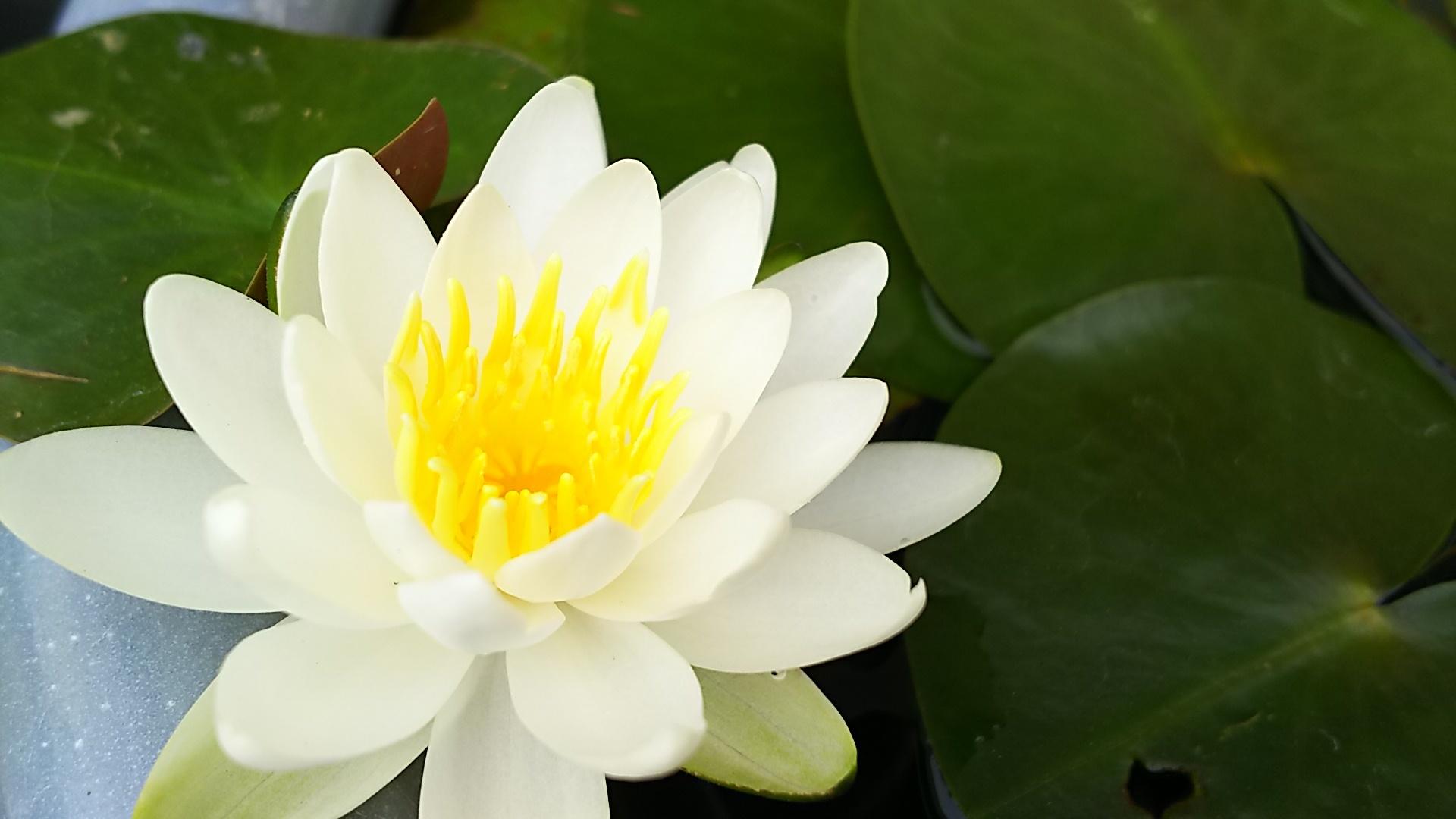 キルティング中と睡蓮の花♪_f0374160_21174731.jpg