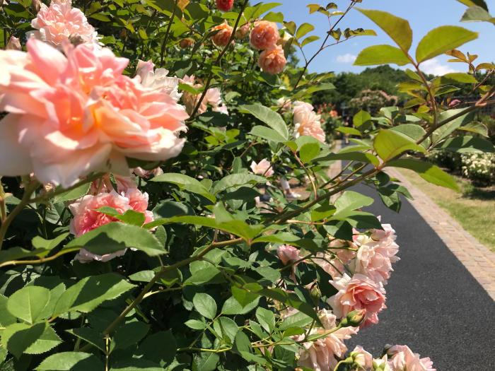 花フェスタ記念公園2018_e0233674_08275256.jpg