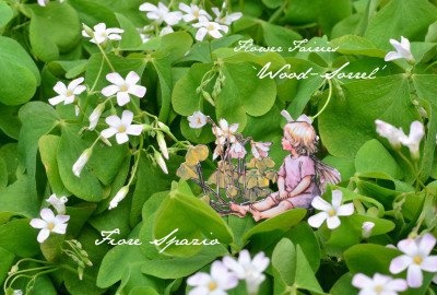 THE WOOD-SORREL FAIRY_a0252678_06561692.jpg