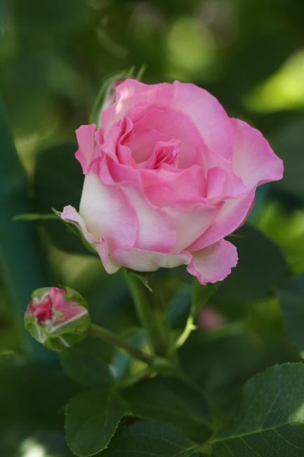 友達の薔薇 _a0357206_20313737.jpg