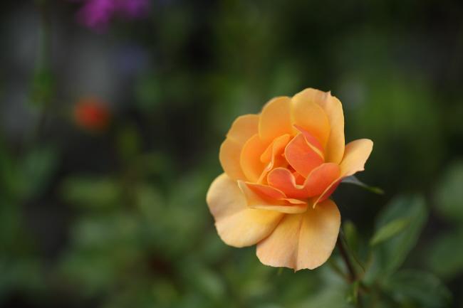 友達の薔薇 _a0357206_20315259.jpg