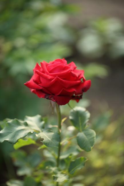 友達の薔薇 _a0357206_20315919.jpg