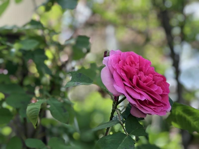 薔薇の季節2018_f0251010_21242976.jpeg