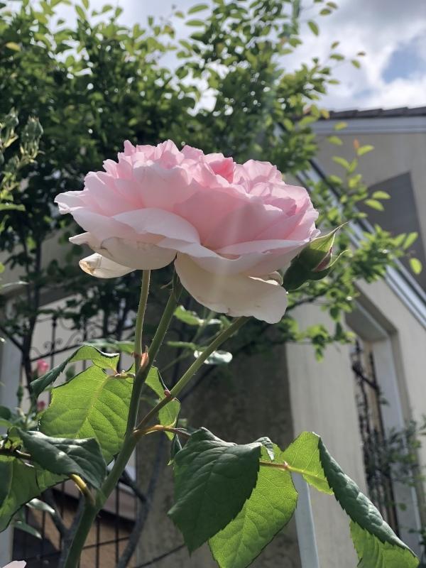 薔薇の季節2018_f0251010_21245626.jpeg