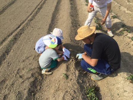 サツマイモの植え付けと玉ネギ掘り_b0017215_21410167.jpg