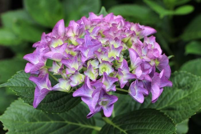 庭に咲く花 紫陽花 (5)_d0150720_11525874.jpg