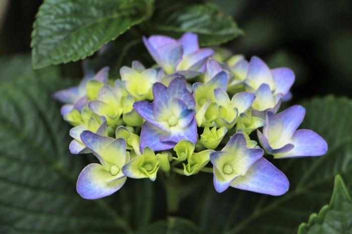庭に咲く花 紫陽花 (5)_d0150720_11531792.jpg