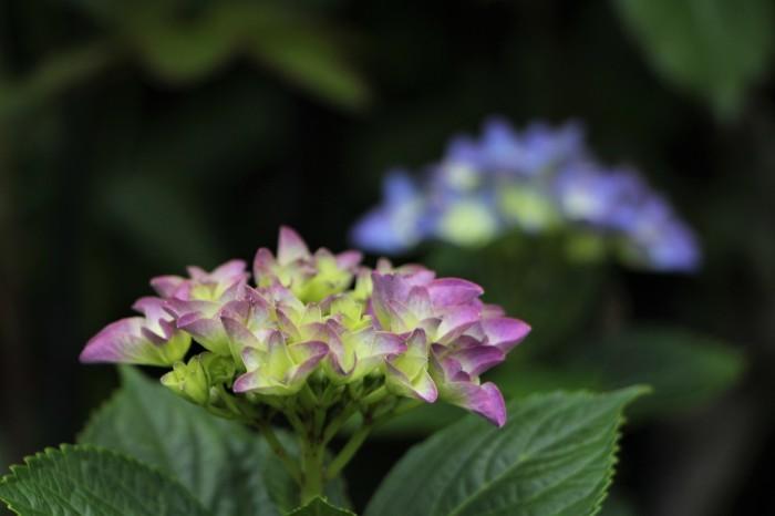 庭に咲く花 紫陽花 (5)_d0150720_11533147.jpg