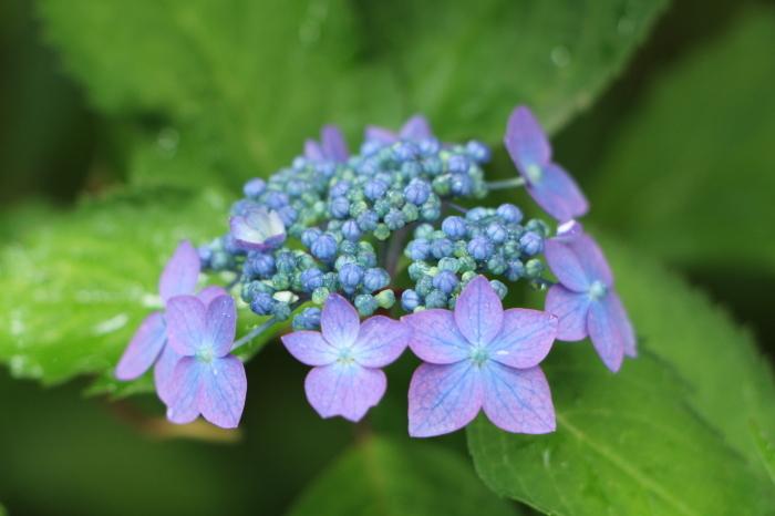 庭に咲く花 紫陽花 (5)_d0150720_11535507.jpg