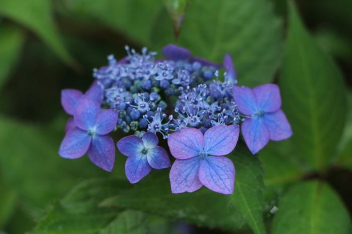 庭に咲く花 紫陽花 (5)_d0150720_11540836.jpg