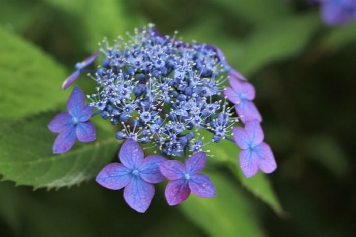 庭に咲く花 紫陽花 (5)_d0150720_11542761.jpg