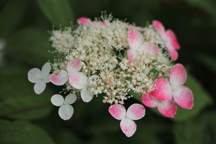 庭に咲く花 紫陽花 (5)_d0150720_11555662.jpg