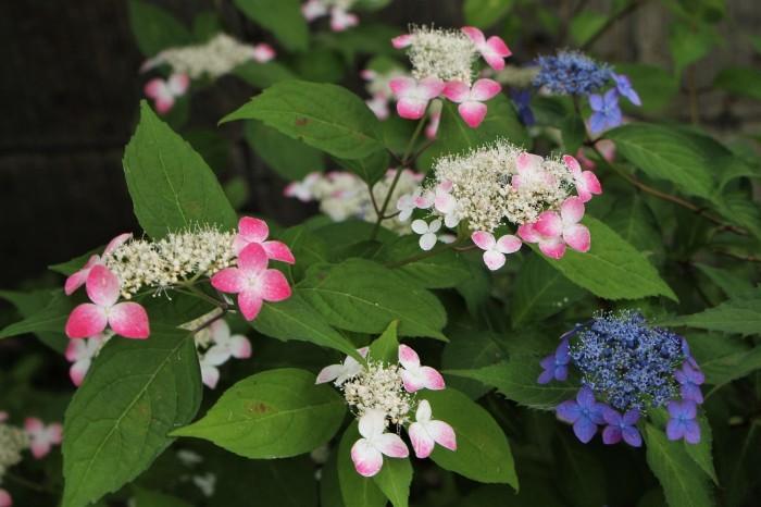 庭に咲く花 紫陽花 (5)_d0150720_11561619.jpg