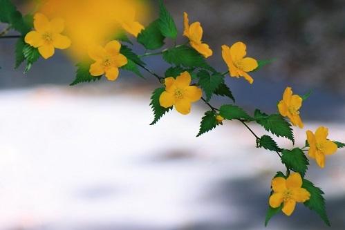 山吹の咲く頃_e0241944_23311789.jpg