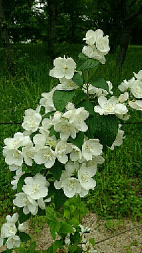お散歩で出逢う花と電車_f0034444_00220321.jpg