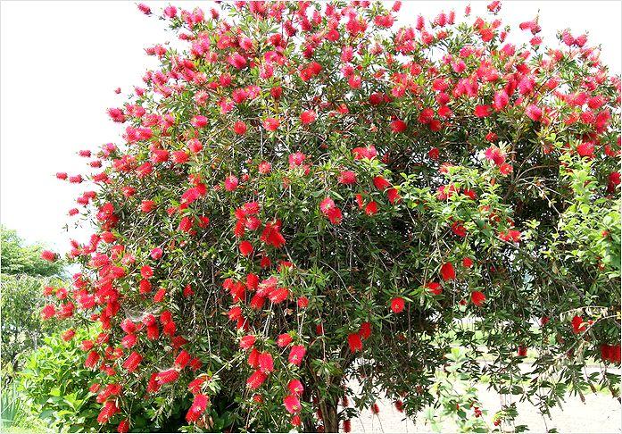 庭の花  ブラシの木_a0256349_1061942.jpg