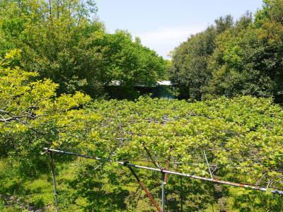 水源キウイ 開花から着果までの様子 今年(平成30年度)も無農薬で育て販売いたします!_a0254656_17421940.jpg