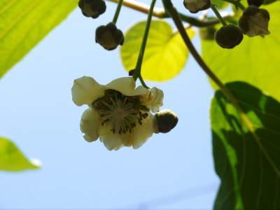 水源キウイ 開花から着果までの様子 今年(平成30年度)も無農薬で育て販売いたします!_a0254656_17425624.jpg