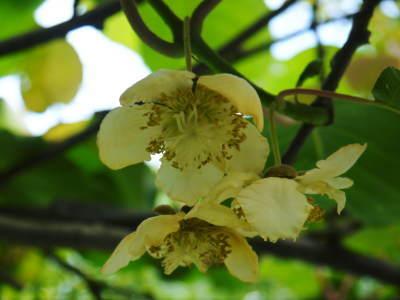 水源キウイ 開花から着果までの様子 今年(平成30年度)も無農薬で育て販売いたします!_a0254656_19105393.jpg